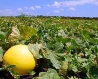Espanhóis demonstram interesse na  produção de melão no Baixo Assu