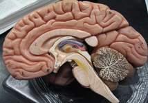 Estudo mostra como 'hormônio do crescimento' age no cérebro e ajuda a estimular apetite